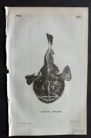 Pennant 1776 Antique Fish Print. Common Angler. Monkfish